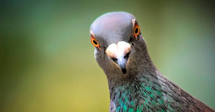 Stiai ca...? cu si despre porumbei